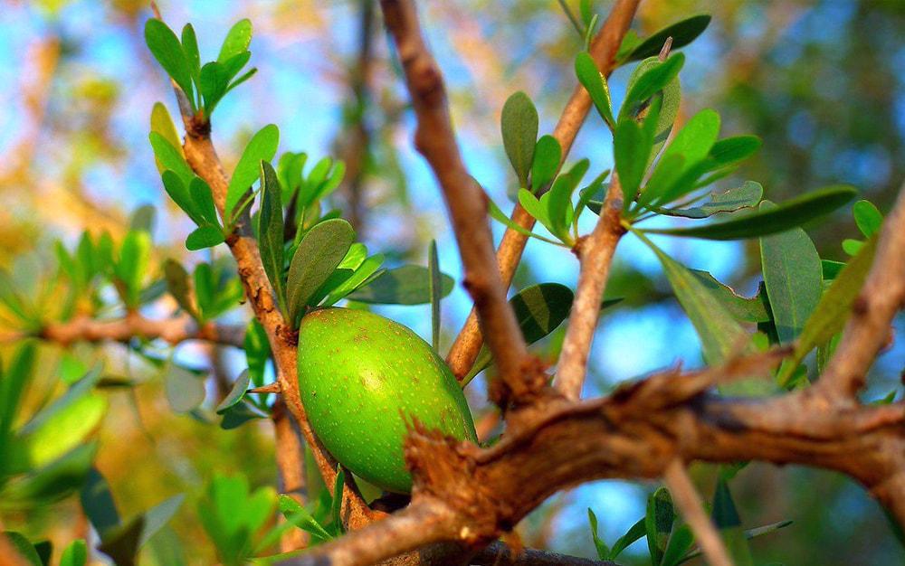 olej arganowy - właściwości i zastosowanie - sanaja